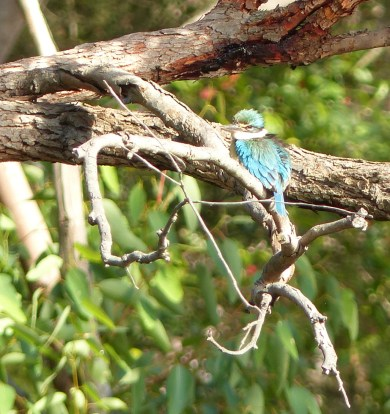 Sacred kingfisher hanging out nearby