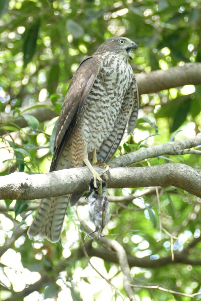 Juvenile collared sparrowhawk with prey