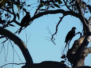 Cuckoo doves in the tree