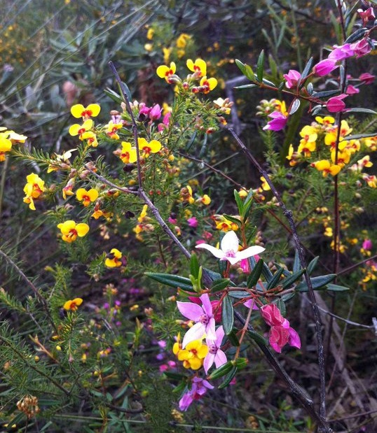 Eutaxia obovata and boronia microphyllia (I think!)