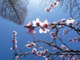 Winter sequoia and peach blossom