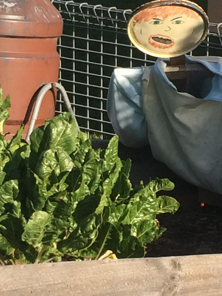 A fabulously scary scarecrow in the veggie garden at Berowra Public School.