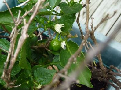 Chilli bush protected by pea sticks