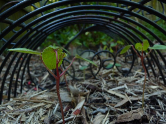 Red okra seedling - safe for the moment