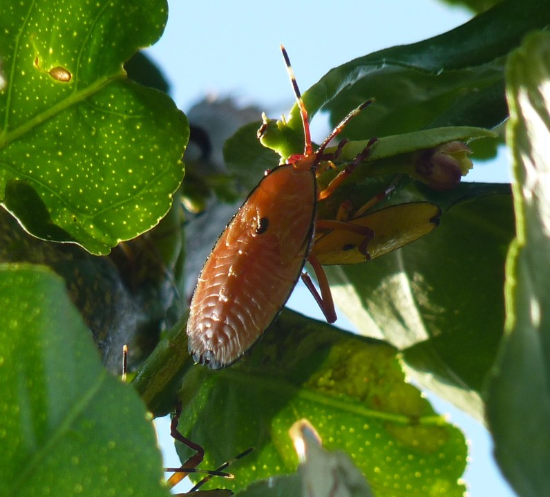The Bronze Orange Bug: a worthy adversary
