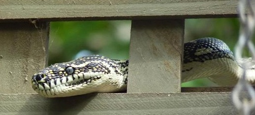 Snakey in the trellis 2012