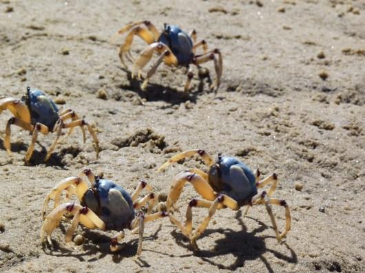 The light blue soldier crab, Mictyris longicarpus