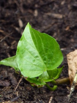 Little sweet potato slip meeting the earth