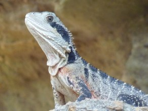 Eastern water dragon enjoying the attentions of the papperazzi.