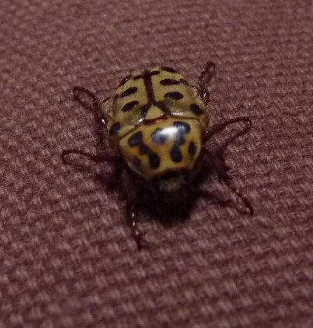 spotted christmas bug? crop