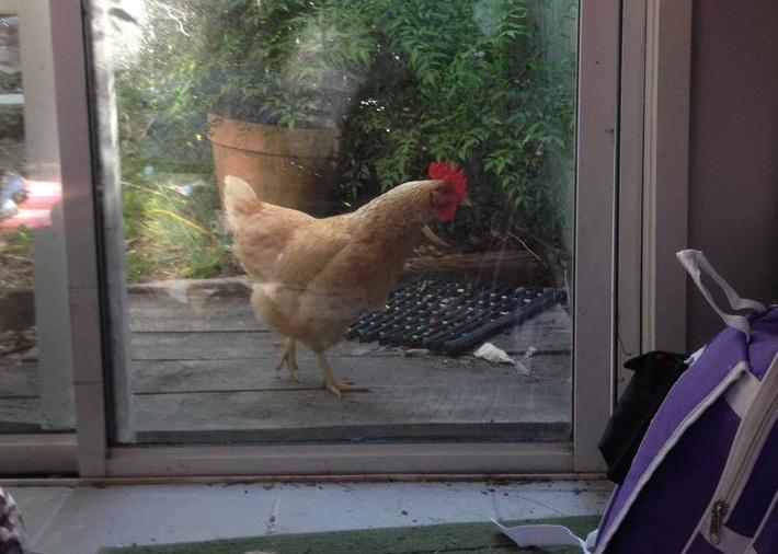 """High security chicken run? What high security chicken run?"""