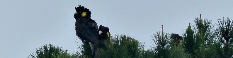 Female yellow tailed cockatoos and a male peeping out of