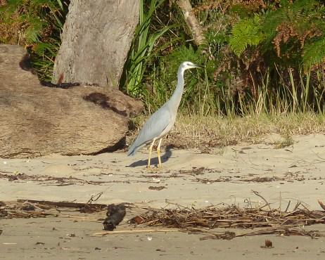 Contractual obligation white-faced heron