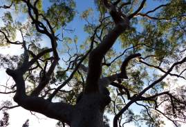 Glorious Angophora