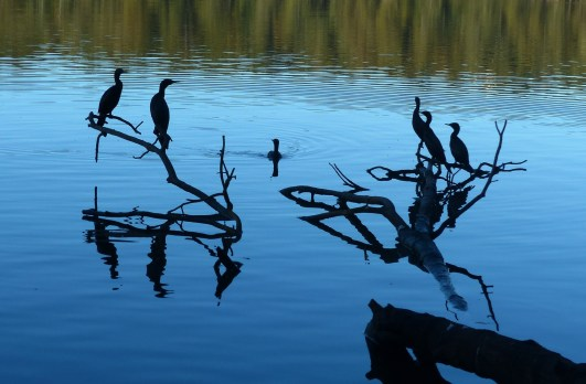 (Little?) Black cormorants