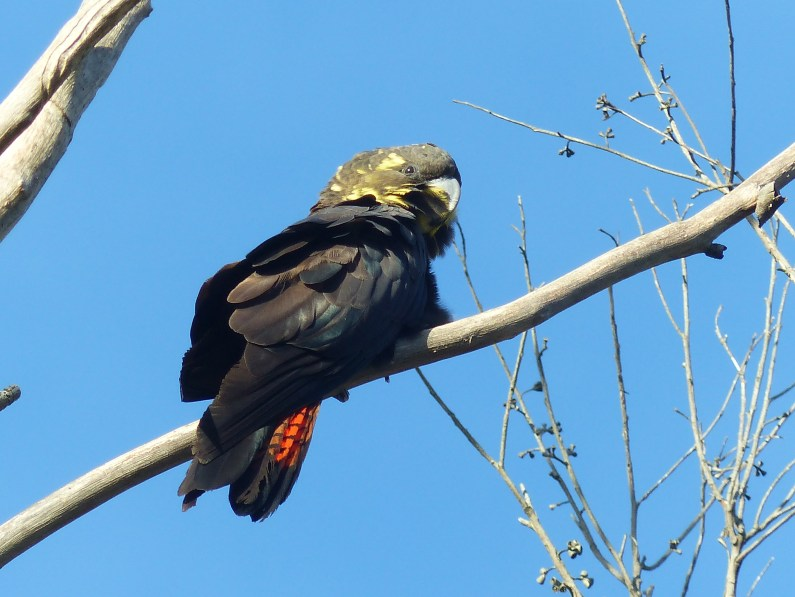 Adult female glossy black-cockatoo