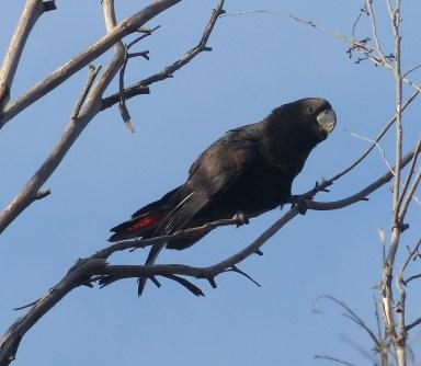 Juvenile glossy black-cockatoo