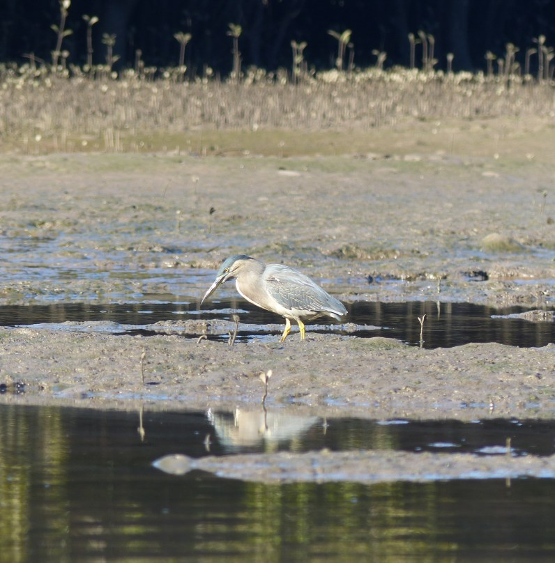 Striated heron hunting again big square