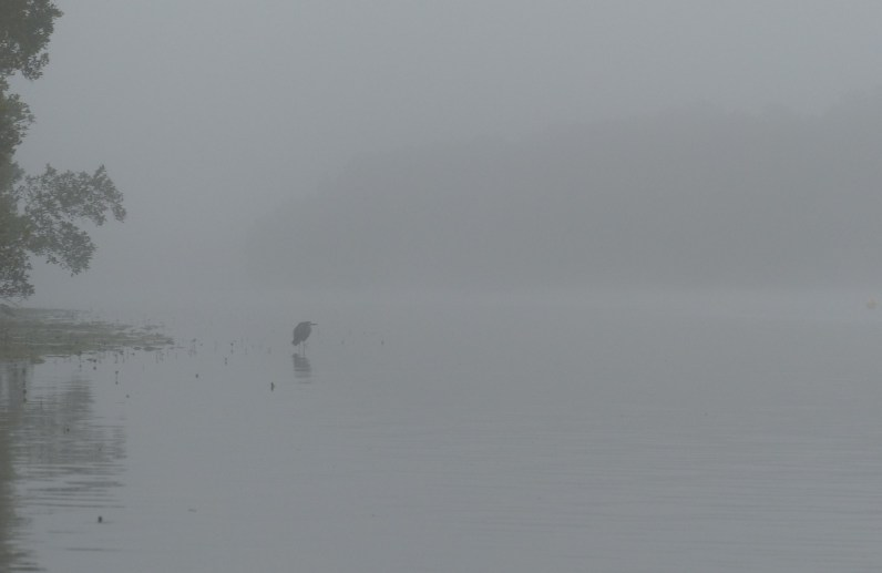 Contractual obligation white-faced heron in the mist on Mangrove Creek