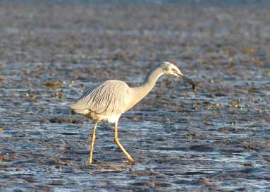 White-faced heron and crabby breakfast