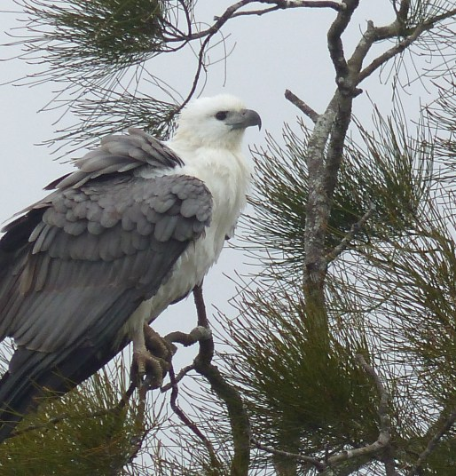 White-bellied sea eagle fluffed up in the morning mist