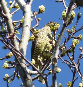 Female bowerbird chowing down on the liquidambar buds