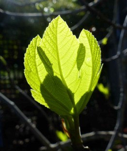 Spring fig leaves