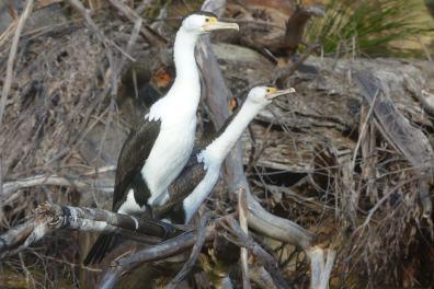 Peeved pied cormorants