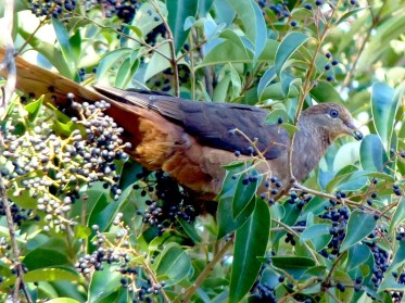 Brown cuckoo dove loving the privet fruits
