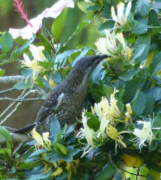 Little wattlebird in the japanese honeysuckle