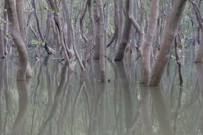 Mangroves in Big Bay at high tide