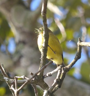 The rarely sighted fungus faced thornbill