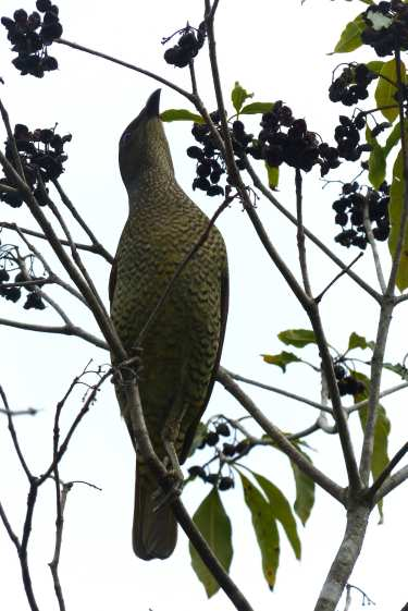 Female (or juvenile) satin bowerbird reaching for pittosporum fruit