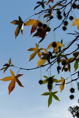 Liquidambar autumnal leaves