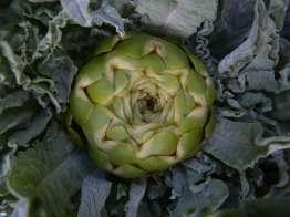 Globe artichoke closeup
