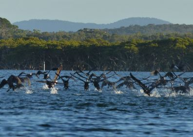Pied cormorants preferring a private party