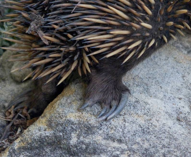 Echidna back claws