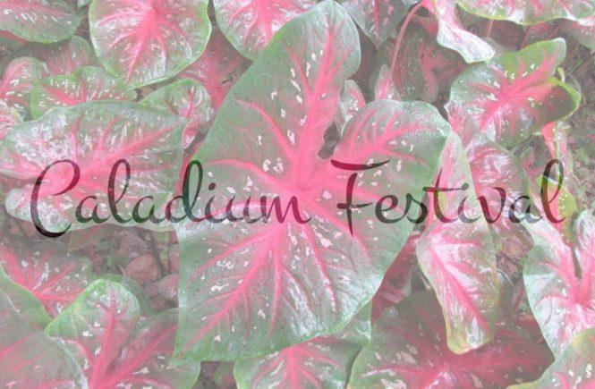 Caladium Festival