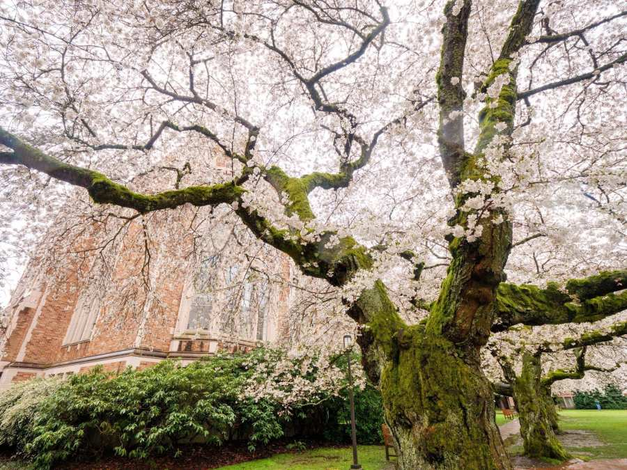 2018-03-23 UW Cherry Blossoms 11-30-50