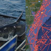 'Mary Lee' The Great White Shark @Ocearch @MaryLeeShark