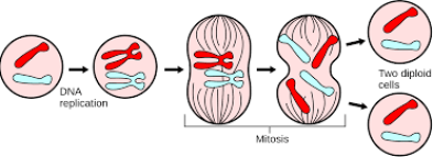 Basic Mitosis