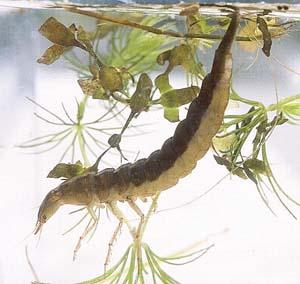 dragonfly-larvae