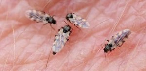 midges_feeding