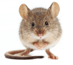 Image of cute mouse
