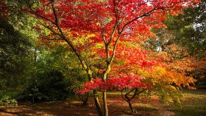 An image of an Acer tree