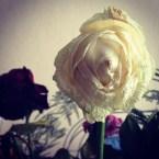 Une rose fanée ça reste une jolie rose