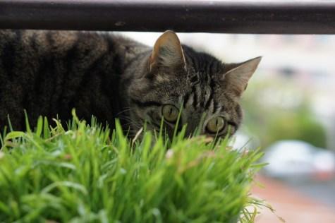 Lundi, je me suis amusé à regarder mon chat faire le tour de son pot d'herbe à chat pour choisir les meilleures tiges.
