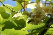 Samedi 22 juin : le bourdon et la fleur de kiwi