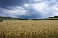 Samedi 14 juin : champ de blé sous le ciel orageux