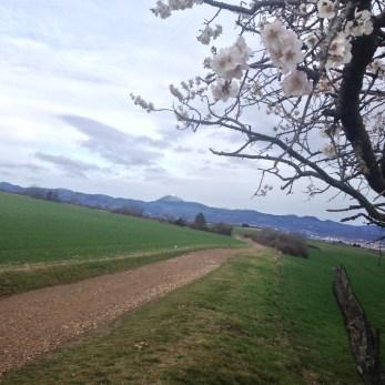 Dimanche 10 janvier : sur mon parcours, un arbre en bleu et le puy de Dôme sous la neige au fond